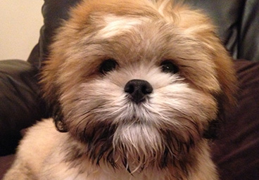 Dogs4us Puppies For Sale Shih Tzu